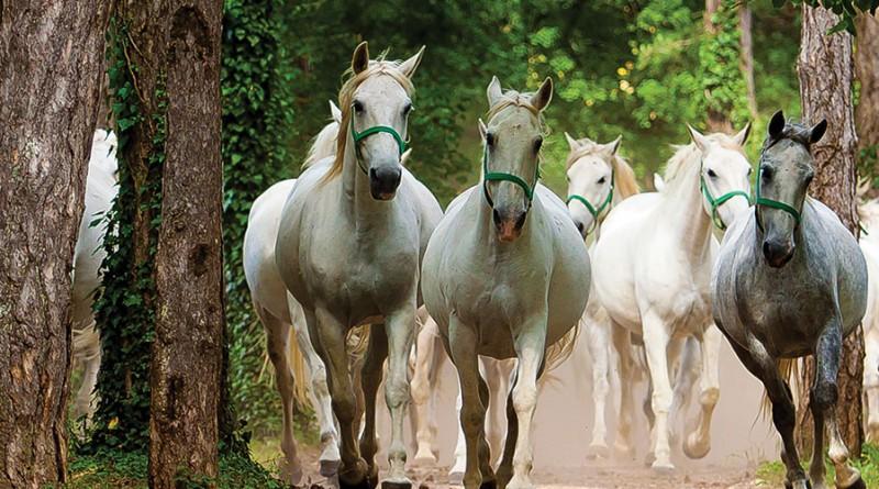 Cavalli bianchi Lipica